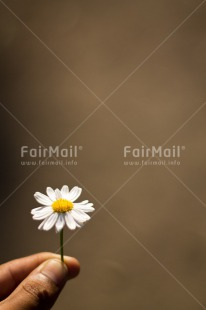 Fair Trade Photo Daisy, Flower, Hand, Mothers day, Peru, Seasons, South America, Spring, Summer, Vertical