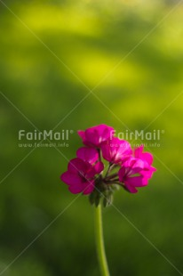 Fair Trade Photo Closeup, Colour image, Flower, Mothers day, Peru, Pink, Shooting style, South America, Vertical
