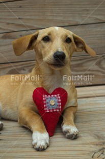 Fair Trade Photo Animals, Colour image, Dog, Heart, Love, Peru, Sorry, South America, Valentines day, Vertical