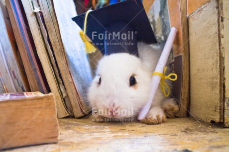 Fair Trade Photo Animals, Book, Clothing, Colour image, Congratulations, Diploma, Hat, Horizontal, Indoor, Peru, Rabbit, South America, Success