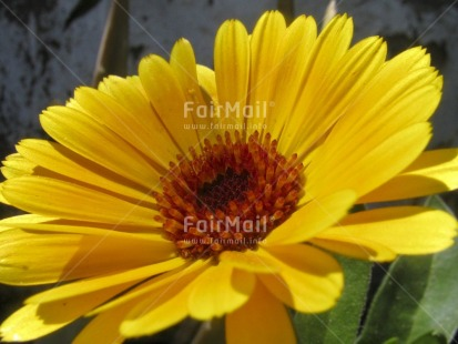 Fair Trade Photo Closeup, Colour image, Day, Flower, Horizontal, Nature, Outdoor, Peru, Seasons, South America, Summer, Yellow