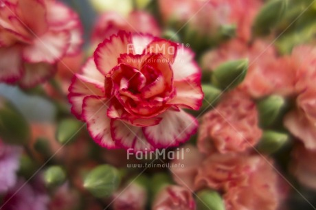 Fair Trade Photo Artistique, Colour image, Day, Flower, Focus on foreground, Garden, Green, Horizontal, Outdoor, Peru, Pink, South America