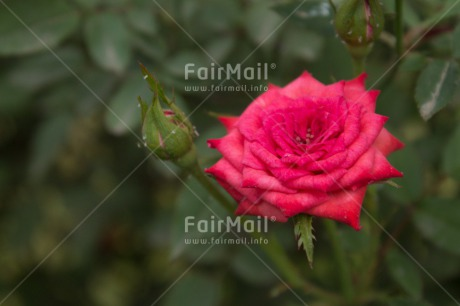 Fair Trade Photo Colour image, Flower, Horizontal, Mothers day, Nature, Peru, South America
