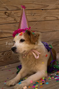 Fair Trade Photo Animals, Birthday, Colour image, Dog, Hat, Party, Peru, South America, Vertical