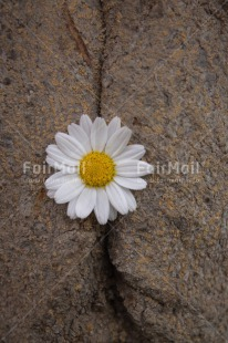 Fair Trade Photo Artistique, Colour image, Daisy, Flower, Peru, South America, Vertical