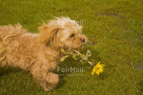 Fair Trade Photo Activity, Animals, Biting, Carrying, Colour image, Dog, Fathers day, Flower, Holding, Horizontal, Love, Mothers day, Peru, Playing, Running, Sorry, South America, Valentines day, Yellow