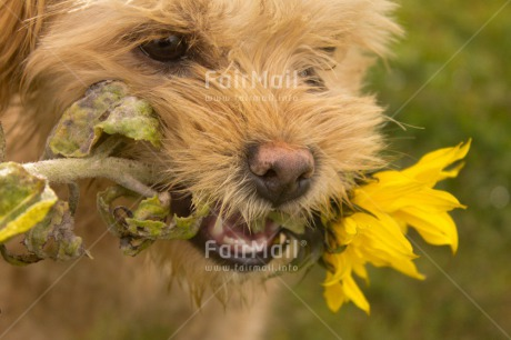 Fair Trade Photo Activity, Animals, Biting, Carrying, Colour image, Dog, Fathers day, Flower, Holding, Horizontal, Love, Mothers day, Peru, Playing, Portrait headshot, Sorry, South America, Valentines day, Yellow