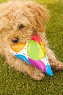Fair Trade Photo Activity, Animals, Balloon, Birthday, Biting, Colour image, Dog, Grass, Green, Hat, Horizontal, Multi-coloured, Peru, Playing, South America