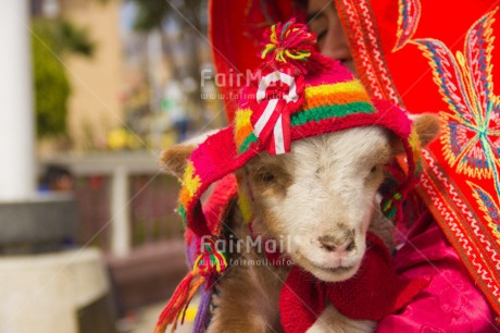 Fair Trade Photo Animals, Clothing, Colour image, Culture, Day, Funny, Goat, Hat, Horizontal, Latin, Outdoor, Peru, Rural, Seasons, South America, Traditional clothing, Winter