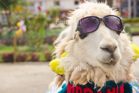 Fair Trade Photo Animals, Colour image, Day, Funny, Horizontal, Llama, Outdoor, Peru, Seasons, South America, Summer, Sunglasses