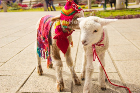 Fair Trade Photo Animals, Brother, Clothing, Colour image, Day, Friendship, Funny, Goat, Hat, Horizontal, Love, Outdoor, Peru, Rural, Seasons, Sister, Smile, Smiling, South America, Winter