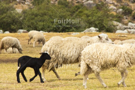 Fair Trade Photo Animals, Black, Child, Colour image, Day, Farm, Group, Horizontal, Mother, Nature, Outdoor, Peru, Rural, Sheep, South America
