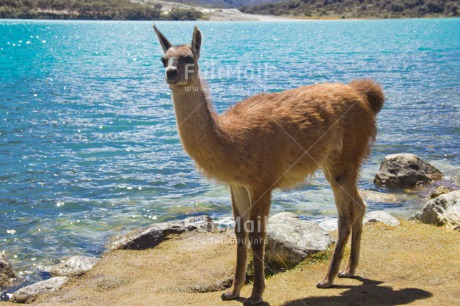 Fair Trade Photo Animals, Colour image, Day, Horizontal, Lake, Llama, Mountain, Nature, Outdoor, Peru, Rural, South America