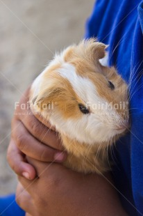Fair Trade Photo Animals, Blue, Colour image, Cute, Guinea pig, Hand, Hands, Holding, One boy, One child, People, Peru, Puppy, South America, Vertical