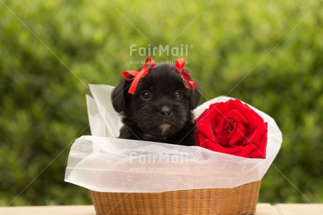 Fair Trade Photo Animals, Colour image, Cute, Dog, Flower, Horizontal, Mothers day, Peru, Puppy, Red, Rose, South America, Valentines day