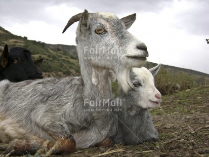 Fair Trade Photo Animals, Baby, Care, Colour image, Cute, Day, Family, Goat, Horizontal, Love, Mother, Mountain, Outdoor, People, Peru, Rural, South America, Together
