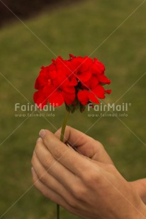 Fair Trade Photo Activity, Colour image, Flower, Giving, Hand, Mothers day, Peru, Red, South America, Vertical