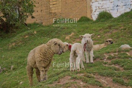 Fair Trade Photo Animals, Child, Colour image, Grass, Green, Horizontal, Love, Mother, Mothers day, Mounain, Outdoor, Peru, Rural, Sheep, South America