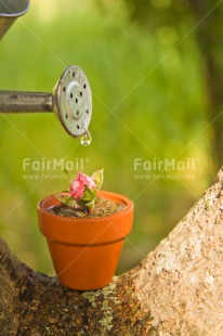 Fair Trade Photo Colour image, Day, Drop, Fathers day, Flower, Friendship, Green, Love, Marriage, Mothers day, Nature, Outdoor, Peru, Pink, Plant, Pot, Seasons, Sorry, South America, Spring, Thank you, Valentines day, Vertical, Water, Watering can, Wedding