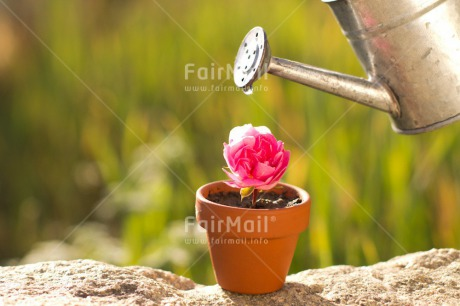 Fair Trade Photo Colour image, Day, Drop, Fathers day, Flower, Friendship, Green, Horizontal, Love, Marriage, Mothers day, Nature, Outdoor, Peru, Pink, Plant, Pot, Seasons, Sorry, South America, Spring, Thank you, Valentines day, Water, Watering can, Wedding