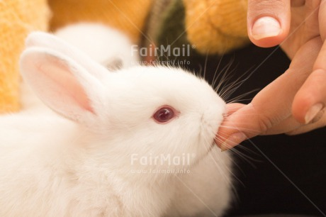 Fair Trade Photo Activity, Animals, Colour image, Easter, Feeding, Hand, Horizontal, Peru, Rabbit, South America, White