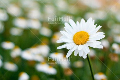 Fair Trade Photo Colour image, Daisy, Fathers day, Flower, Friendship, Grass, Green, Horizontal, Love, Mothers day, Nature, Outdoor, Peru, Seasons, Sorry, South America, Spring, Summer, Thank you, Valentines day, White
