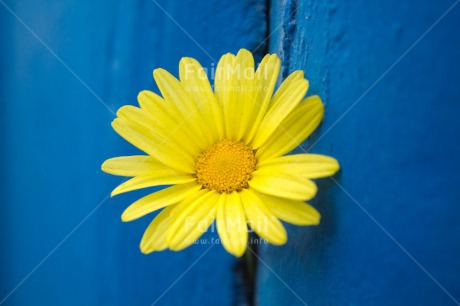 Fair Trade Photo Blue, Colour image, Contrast, Fathers day, Flower, Horizontal, Mothers day, Peru, Sorry, South America, Thank you, Valentines day, Wood, Yellow