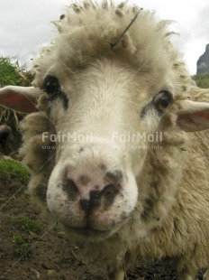 Fair Trade Photo Activity, Animals, Closeup, Colour image, Day, Funny, Looking at camera, Outdoor, Peru, Rural, Sheep, South America, Vertical