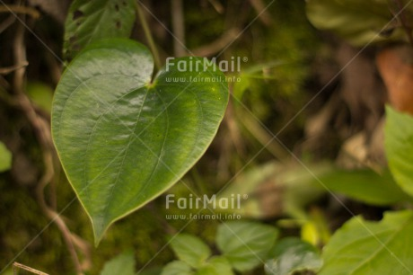 Fair Trade Photo Colour image, Condolence/Sympathy, Green, Heart, Horizontal, Leaf, Love, Nature, Peru, South America, Tree
