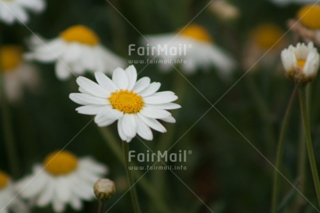 Fair Trade Photo Colour image, Daisy, Flower, Mothers day, Peru, South America, Vertical, White, Yellow