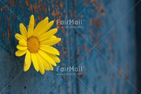 Fair Trade Photo Blue, Closeup, Colour image, Flower, Friendship, Horizontal, Mothers day, Peru, Shooting style, South America, Yellow