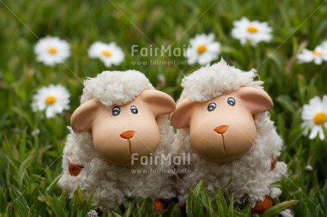 Fair Trade Photo Animals, Colour image, Cute, Friendship, Horizontal, Love, Outdoor, Peru, Sheep, South America, Summer, Together, Valentines day