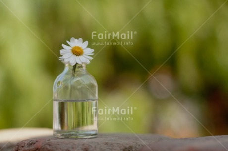 Fair Trade Photo Bottle, Colour image, Daisy, Day, Fathers day, Flower, Glass, Green, Horizontal, Love, Mothers day, Nature, Outdoor, Peace, Peru, South America, Valentines day