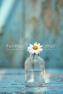 Fair Trade Photo Blue, Bottle, Colour image, Daisy, Day, Fathers day, Flower, Glass, Indoor, Light, Love, Mothers day, Peace, Peru, South America, Sunshine, Valentines day, Vertical, Vintage