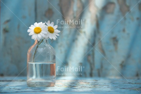 Fair Trade Photo Blue, Bottle, Colour image, Daisy, Day, Fathers day, Flower, Flowers, Glass, Horizontal, Indoor, Light, Love, Mothers day, Peace, Peru, South America, Sunshine, Two, Valentines day, Vintage