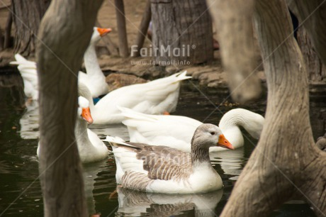Fair Trade Photo Activity, Animals, Bird, Birds, Colour image, Day, Horizontal, Lake, Nature, Outdoor, Peru, South America, Swimming, Tree, Water, Wildlife