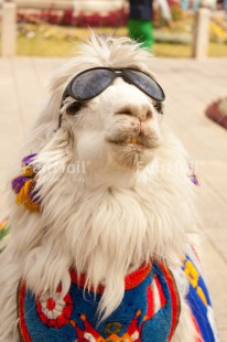 Fair Trade Photo Animals, Colour image, Day, Funny, Llama, Mountain, Outdoor, Peru, Smile, Smiling, South America, Sunglasses, Vertical