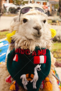 Fair Trade Photo Animals, Colour image, Day, Funny, Llama, Mountain, Outdoor, Peru, South America, Sunglasses, Vertical