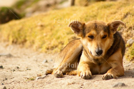 Fair Trade Photo Activity, Animals, Colour image, Day, Dog, Horizontal, Lying, Mountain, Outdoor, Peru, Rural, Serious, South America