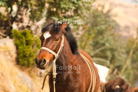 Fair Trade Photo Animals, Brown, Colour image, Day, Funny, Horizontal, Horse, Mountain, Outdoor, Peru, Rural, South America