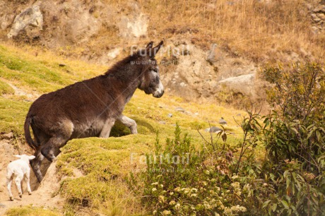 Fair Trade Photo Activity, Animals, Baby, Colour image, Day, Donkey, Friendship, Horizontal, Mountain, Nature, Outdoor, People, Peru, Running, Rural, Sheep, South America, Walking