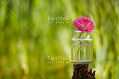 Fair Trade Photo Colour image, Day, Fathers day, Flower, Friendship, Glass, Green, Horizontal, Love, Marriage, Mothers day, Nature, Outdoor, Peru, Pink, Plant, Seasons, Sorry, South America, Spring, Thank you, Valentines day, Wedding