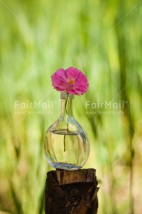 Fair Trade Photo Colour image, Day, Fathers day, Flower, Friendship, Glass, Green, Love, Marriage, Mothers day, Nature, Outdoor, Peru, Pink, Plant, Seasons, Sorry, South America, Spring, Thank you, Valentines day, Vertical, Wedding
