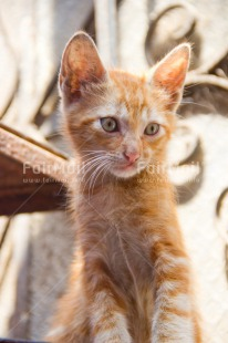 Fair Trade Photo Animals, Cat, Colour image, Curious, Peru, Portrait halfbody, South America, Thinking, Vertical