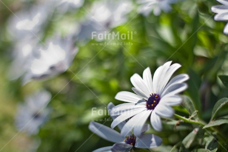 Fair Trade Photo Birthday, Colour image, Colourful, Daisy, Flower, Horizontal, Love, Marriage, Mothers day, Peru, Sorry, South America, Thank you, Thinking of you, Wedding