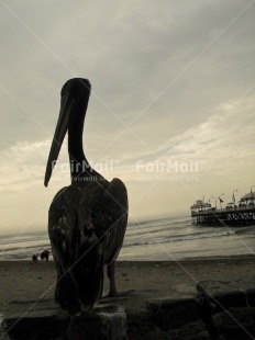 Fair Trade Photo Activity, Animals, Backlit, Beach, Colour image, Evening, Outdoor, Pelican, Peru, Silhouette, Sitting, South America, Vertical