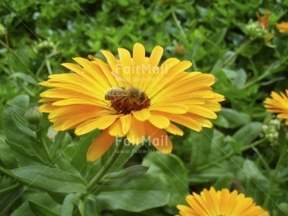 Fair Trade Photo Animals, Bee, Colour image, Day, Flower, Green, Horizontal, Outdoor, Peru, Seasons, South America, Spring, Summer, Sustainability, Values, Yellow