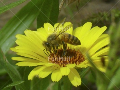 Fair Trade Photo Animals, Bee, Colour image, Day, Flower, Garden, Green, Horizontal, Insect, Nature, Outdoor, Peru, Seasons, South America, Spring, Summer, Sustainability, Values, Yellow