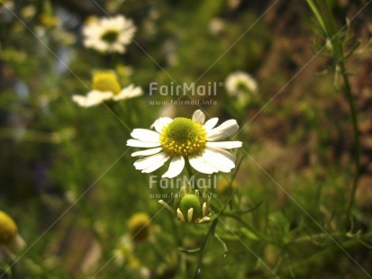 Fair Trade Photo Closeup, Colour image, Day, Flower, Forest, Garden, Green, Horizontal, Nature, Outdoor, Peru, Seasons, South America, Summer, White, Yellow