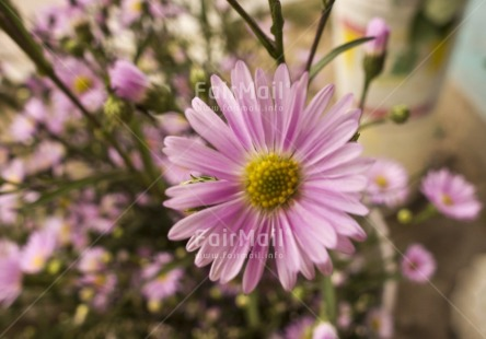 Fair Trade Photo Colour image, Day, Flower, Focus on foreground, Horizontal, Indoor, Peru, Pink, South America, Yellow